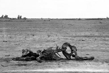 Cadáver de un elefante adulto.