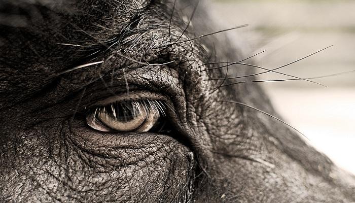 Detalle del ojo de un cerdo. La fotografía pertenece a Boudewjn Berends.