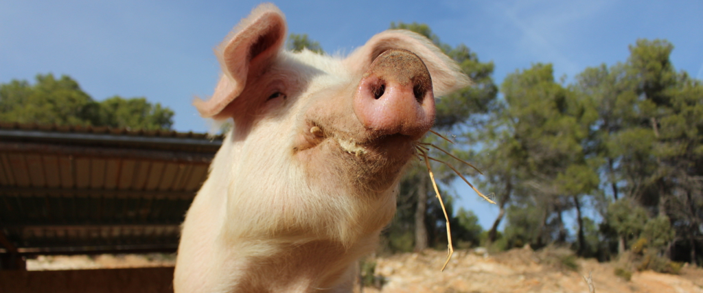 Cerdo (vivo)